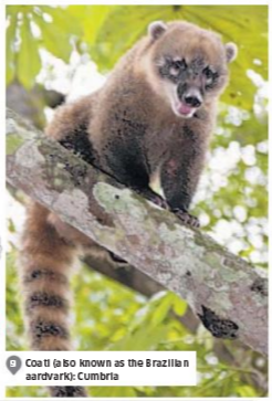 """The Independent referring to a coati as a """"Brazilian aardvark."""""""